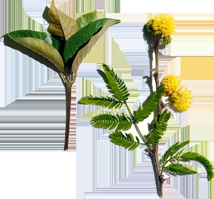 Harungana e fiore di gaggia