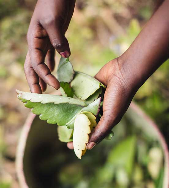 Raccolta sostenibile della pianta di Goethe