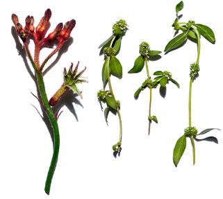 Visuel Fleur de Kangourou et Mitracarpus bio