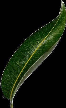 Foglia di mango