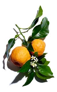 Olio essenziale di limone: Drena
