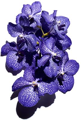 Orchidea Blu ammorbidisce e nutre