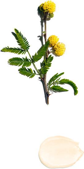 Fiore di gaggia