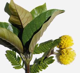 Harungana biologica e fiore di cassia