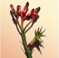 Fiore di canguro