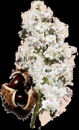 Fiore e frutto d'ippocastano