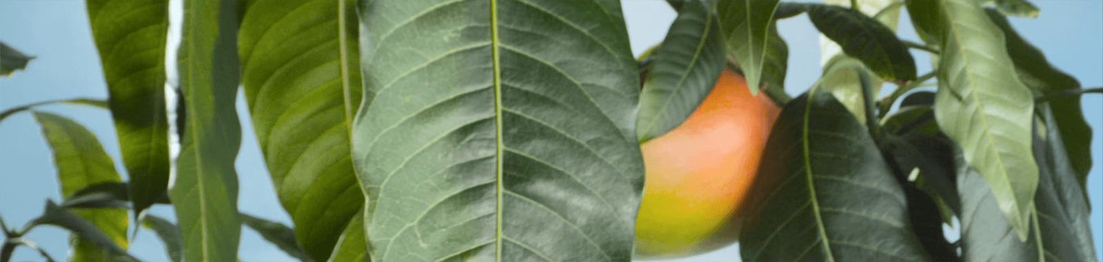 Albero di mango