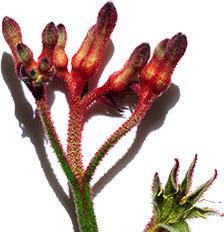 Fiore canguro
